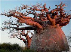 Baobab, Madagascar - Adansonia grandidieri - Andavadoaka - /www.baobabs.com