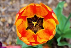 100,000 tulips bloom in April at Biltmore in Asheville