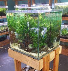 Angel Cube tank at my LFS #plantedtank #lfstores #aquascape #aquariumplants #angelfish #ada #fish