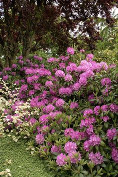 Roseum Elegans Rhododendron - Monrovia - Roseum Elegans Rhododendron