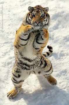 """30 Awesome Photographs Of Tiger 