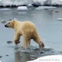 Polar bears walking through icy waters