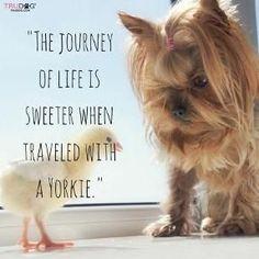 Learn more: https://itsayorkielife.com/yorkies-make-it-sweeter/