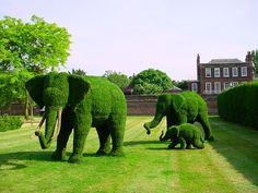 Elephant Family. Plants  used for designing topiary are usually evergreen and woody shrubs or small trees that produce dense foliage. Some of the suitable plants for topiary include: English Ivy, Ficus Pumila, Rosemary, Thyme, Boxwood, Cypress, and almost all yews and hollies.