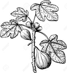 fig drawing - Google Search