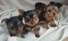I have well trained Yorkie puppies available with all shots and documents. They are very friendly purebred puppies. Pets For Sale, Puppies For Sale, Yorkie Puppies, Pet Dogs, Your Pet, Adoption, Cats, Animals, Foster Care Adoption