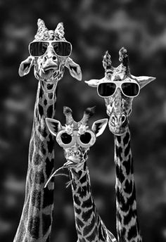 """We're so cool!""says the giraffe on the left. ""Oh, look at our shades!"" says the middle giraffe. ""I look great!"" says the giraffe on the right. Typical, he was only talking about himself!!"