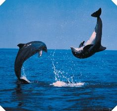 Dolphins jump and play Dolphin Photos, Dolphin Art, Orcas, Beautiful Creatures, Animals Beautiful, Amor Animal, Bottlenose Dolphin, Water Animals, Wale