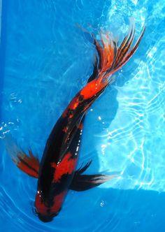 1000 images about creatures koi fish on pinterest for Black koi carp