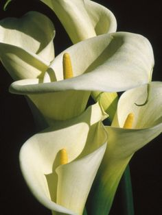 Calla lilies grow like seeds in my garden...I think they know I adore them and just want to burst forth everywhere...