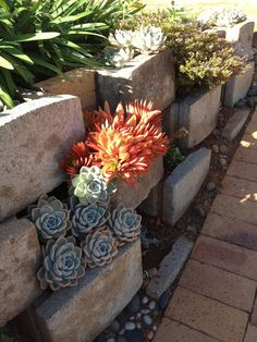 The large red succulent is Kalanchoe luciae. It's surrounded by echeverias.