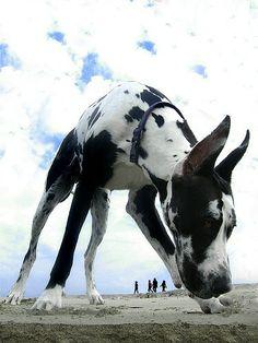 Giant Great Dane!