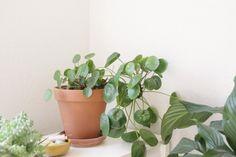 Potted Pilea | Gardenista