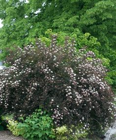 Summer Wine® Ninebark - full sun.  5'-6' tall and wide.