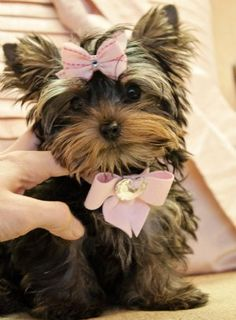 Ella wants a Yorkie... too bad they cost more than a house payment.