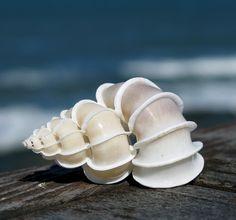 Wentletrap shell {photo by: Steve Jurvetson} #sea_shell #sea #white