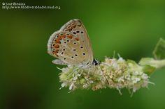 Nombre científico: Polyommatus celina, Descripción: Licénido en menta silvestre., Provincia/Distrito: Jaén, País: España, Fecha: 15/06/2015, Autor/a: José Biedma L.