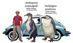 The largest and second largest species of penguin, now extinct.