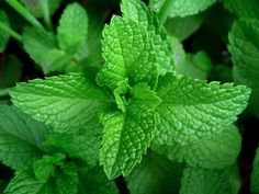 Ever get tension headaches? For a tension tamer, apply a compress of mint leaves to your forehead.    Mice dislike the smell of peppermint. Spread it liberally where you suspect the critters.