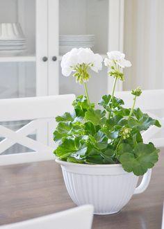 white geranium   KNORKAN