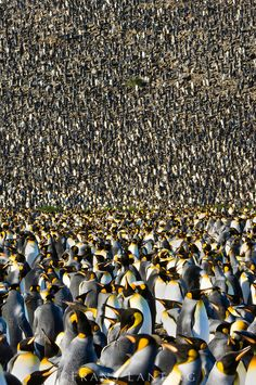 King penguin colony, Aptenodytes patagonicus, South Georgia Island