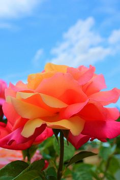 I love the contrast of sky blue and citrus-y melon hues of the rose .... colorful and reminds me of the glory days of summer.