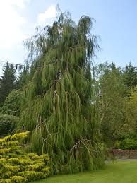 Now in the nursery at Westport Winery Garden Resort: Whipcord Lawson Cypress (Chamaecyparis lawsoniana 'Imbricata Pendula'). This is a small conifer tree with slender green foliage and a softly weeping habit. It prefers full sun in well-drained soil and grows 8' tall x 3' wide in 10 years. It is hardy to -20 degrees. USDA zone 5. We are open daily from 8am to 7pm for breakfast, lunch and dinner.