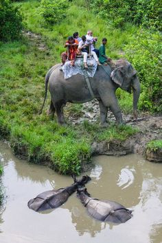 Chitwan national park nepal elephant safari - Elephant with tourists and rhinos - click for larger photograph