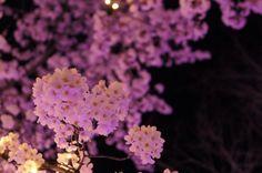 Cherry blossom  桜