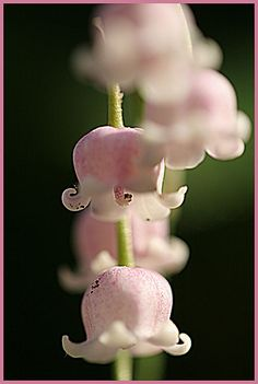 Pink Lily of The Valley - wish it grew here