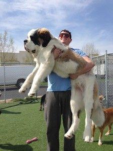 20 Cachorros que são grandes demais e ainda não se deram conta disso