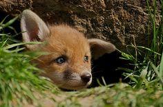Red Fox Cub by Sweetmart