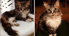 Touching Before And After Photos Of Rescued Cats----Scout Was Once A Thin Stray Cat. Today, only one year later, and Scout looks completely different.