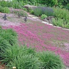 Creeping Thyme ground cover 1000 seeds fragrant herb pink blooms perennial zones 4 to 9 sun or light shade deerproof Thymus serpyllum Landscaping Tips, Front Yard Landscaping, Hillside Landscaping, Landscaping Software, Modern Landscaping, Creeping Thyme, Thymus Serpyllum, Hardy Perennials, Veggie Gardens