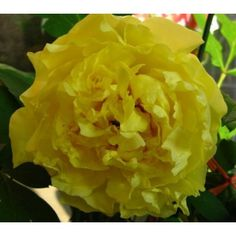 yellow Japanese tree peony
