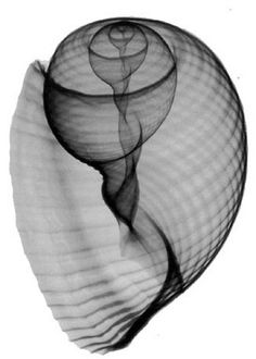 Spiral inside a sea shell.