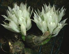 Dendrobium mimiense