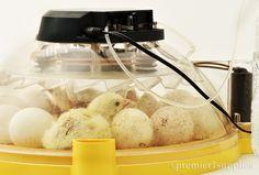 A new turkey in the Brinsea Maxi II EX Egg Incubator.