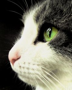 Ähnliche Artikel wie Green eyed Cat animals black white grey pink -11x14 Fine Art Photographic print auf Etsy