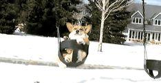 corgi on a swing!