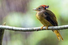 Foto maria-leque-do-sudeste (Onychorhynchus swainsoni) por José Rondon | Wiki Aves - A Enciclopédia das Aves do Brasil