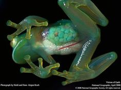 Glass frogs are real.  https://scontent-b-mia.xx.fbcdn.net/hphotos-frc3/t1.0-9/s403x403/1536475_468798289893504_1755554299_n.jpg