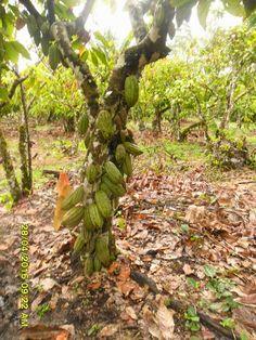 Investiga Innova Cacao Chocolate - Research Innova Cocoa Chocolate: ¿Quiénes conforman esta Red? y ¿Qué Objetivos tien. Chocolate Cacao, Cash Crop, Red Y, Fruit Trees, Fruits And Vegetables, Beans, Branches, Gardening, French
