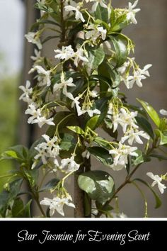 There's nothing like jasmine for beautiful evening scent & climbing all over everything - gorgeous. #affiliate #garden #jasmine #scent