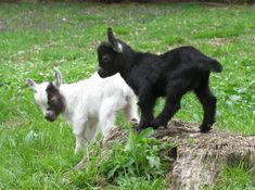 Goats as Pets | Why Goats Are The Best Animal To Have On Your Farm | Self Sufficiency and Homesteading Ideas by Pioneer Settler at http://pioneersettler.com/goats-best-farm-animal/