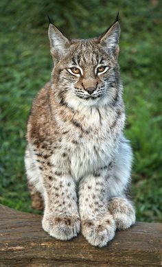 Lynx kitten.~ Wow! Look at those HUGE paws! What a beautiful cat! ~~ Whipsnade Zoo, Bedfordshire ~~ by sometimesong on Flickr.
