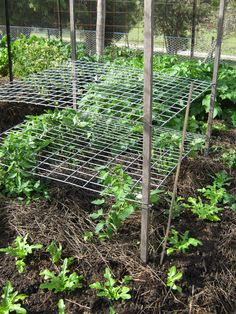 Lateral trellis - good for growing tomatoes.  No more tomato cages.