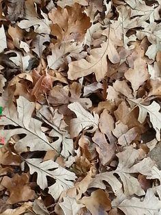 Bur oak leaves