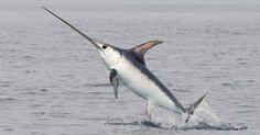 Pesca ilegal no Mediterrâneo está dizimando populações de peixe-espada