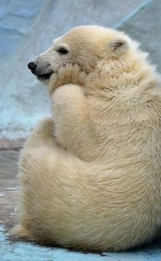 Cute Little Baby Polar Bear thinking hard what to do today